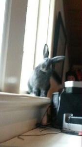 My own black, living in my room bunny.